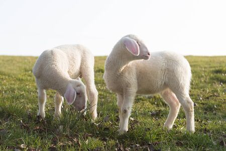 Two young lambs on a meadow in springtime Standard-Bild