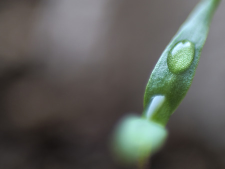 Micro shot of pepper seedling leaves with water droplets on them.