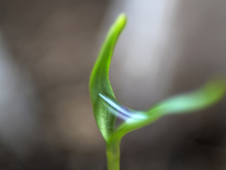 Micro shot of pepper seedling leaves with water droplet in the middle of them.