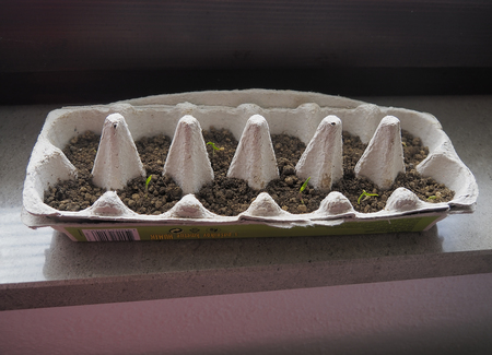 Pepper seedlings growing in a recyclable paper egg carton at varying stages in development on a window ledge.