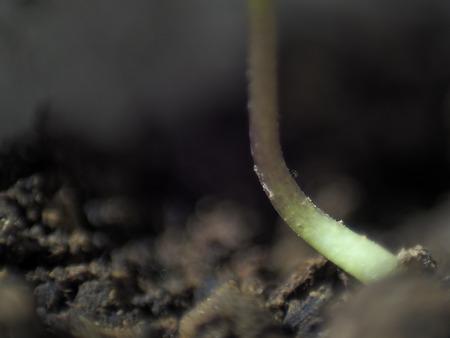 Micro shot of pepper seedling stem in soil. Stock Photo