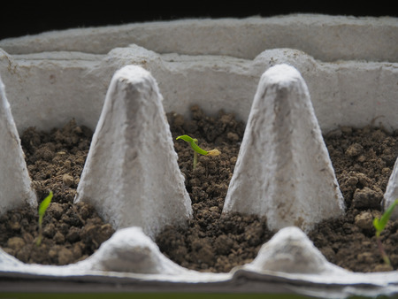 Close up or pepper seedlings growing in a recyclable paper egg carton at varying stages in development.