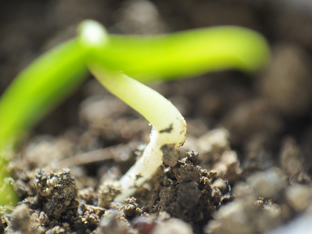 Micro shot of pepper seedling stem in soil with leaves visible.