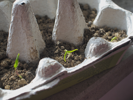 Pepper seedlings growing in a recyclable paper egg carton at varying stages in development.