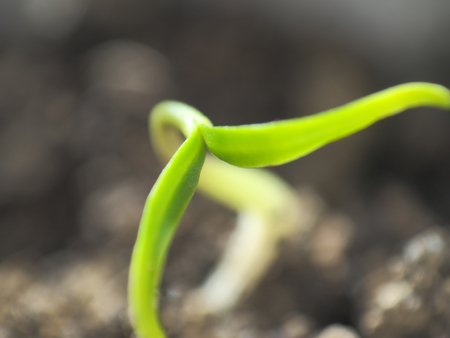 Micro shot of pepper seedling leaves with sunlight touching the leaf tips. Stock Photo