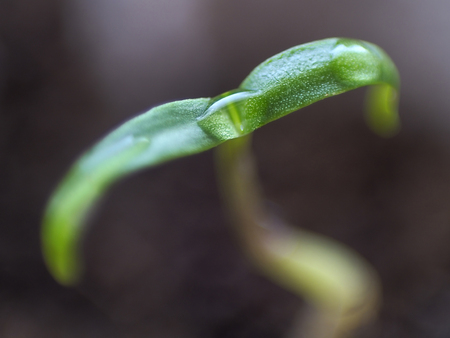 Micro shot of pepper seedling leaves with water droplets in the middle of them.
