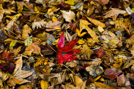This is red leaf in the middle a pile of leaves