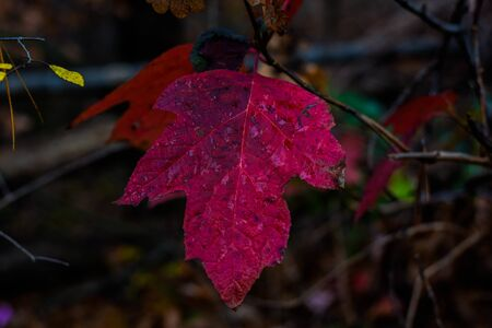 This is an Image of A Red Fall Leaf
