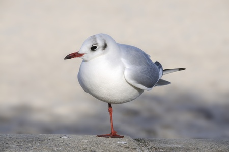 billed: red billed gull Stock Photo