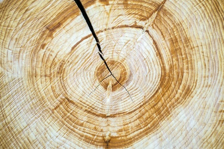 Annual rings of a cut down tree