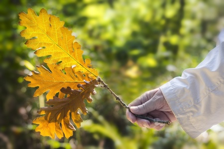 living things: Green oakleaf holding in the right hand Stock Photo