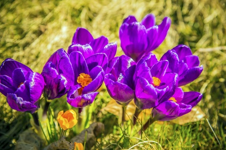 Close up of crocus flowers in a green meadow on a sunny day in spring Stock Photo - 19026382