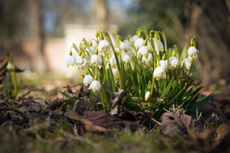 Snowdrops on a sunny day in spring