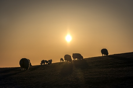 Flock of sheep in a pasture at sunset in spring photo