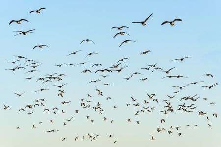 Flock of black-headed gulls in the evening sun on blue sky