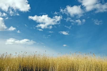 Golden dune grass on a sunny day with blue sky and white clouds Stock Photo - 19141568