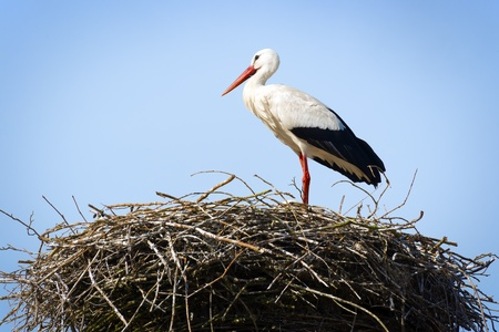 Stork standing in its nest in warm weather Stock Photo