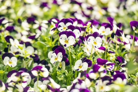 Beautiful purple pansy flowers in spring garden photo
