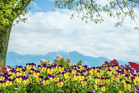 Pansies at the Chiemsee Alps in the background with bright sun Stock Photo - 19483923