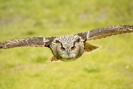 picture of a flying eagle owl Stock Photo