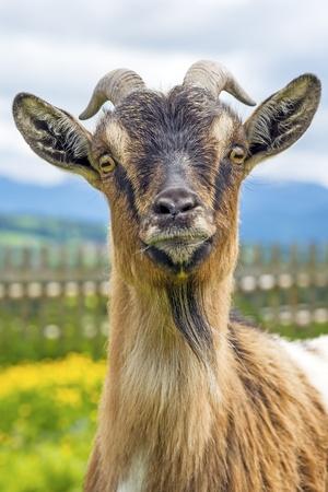 hircus: Goat, typical Bavarian animal on a meadow  Capra aegagrus hircus
