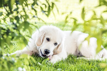 Picture of a young golden retriever lying in garden photo
