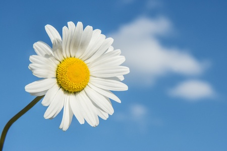 vulgare: White marguerite  Leucanthemum vulgare  on blue sky with clouds Stock Photo