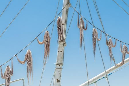 hanged: Hanged on ropes squid drying in the sun in Greece