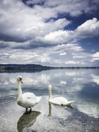 Two swans on the shore of lake Kochelsee, in which the sky is reflected, in Bavaria, Germany  photo