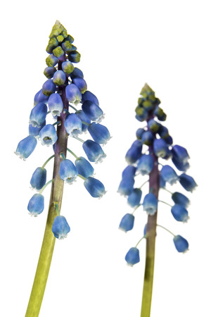 hyacinths: Image of grape hyacinth isolated on white