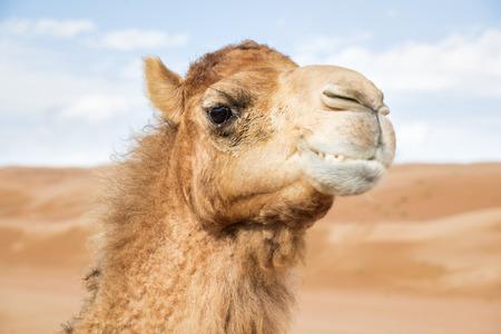 Image of camel in desert Wahiba Oman photo
