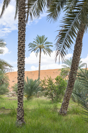 Palms, grass and sand dune in oasis Al Haway in Oman photo