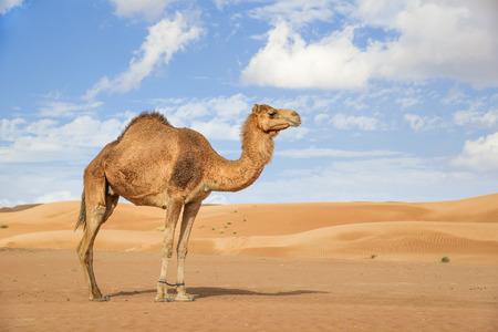 Afbeelding van de kameel in de woestijn Wahiba Oman