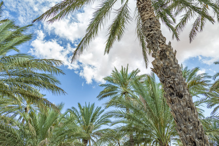 Image of palms and blue sky in oasis Al Haway in Oman photo