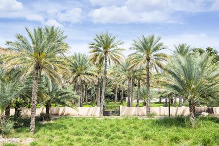 Image of palms in Birkat al mud in Oman
