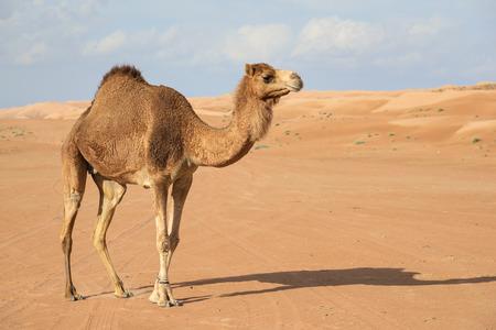 camel in desert: Image of camel in desert Wahiba Oman
