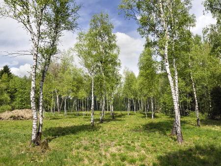 Image of a landscape with birch forest in Bavaria
