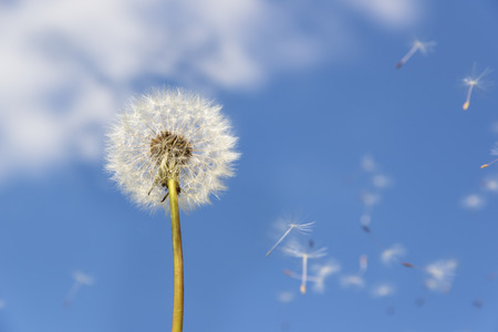 Image of a dandelion against blue sky with flying pollen