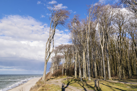 ghostlike: Image of the famous ghost forest on the coast of Nienhagen on the Baltic Sea Stock Photo