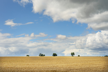 wheatfield: Image of romantic landscape with wheatfield and white clouds in Franconia, Germany in summer