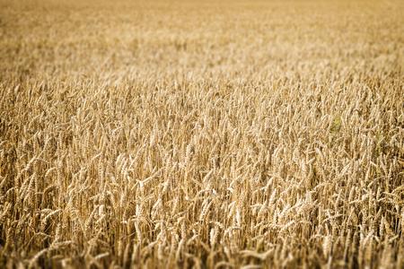 wheatfield: closeup image of a wheatfield in Franconia, Germany