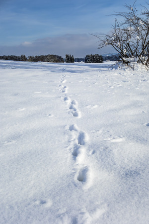 animal foot: Image of animal foot prints in snow Stock Photo
