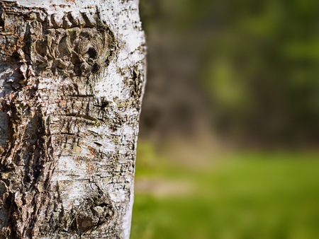 close up: Close up birch tree background