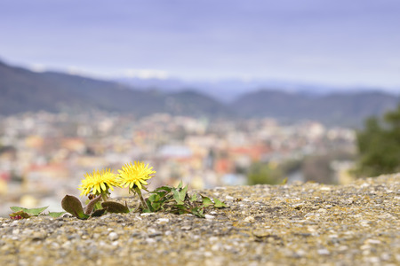 Image of dandelion with cityscape of the town Graz in Austria in background Stock Photo