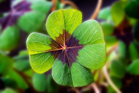 Detail Image of lucky clover with four leaves Stock Photo