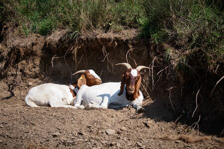 Image of goats at the famous maar in the region eifel near Daun in Germany in summer