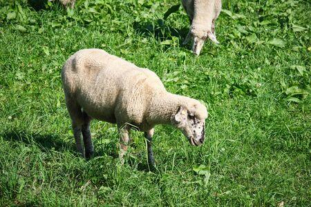Image of sheeps in the region Eifel in Germany in Summer Stock fotó