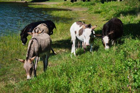 Image of donkeys at the famous maar in the region eifel near Daun in Germany in summer