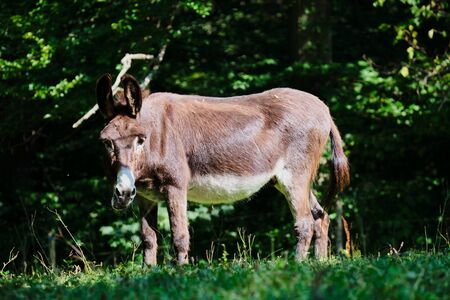 Image of a donkey in Germany with green meadow in summer Stock fotó