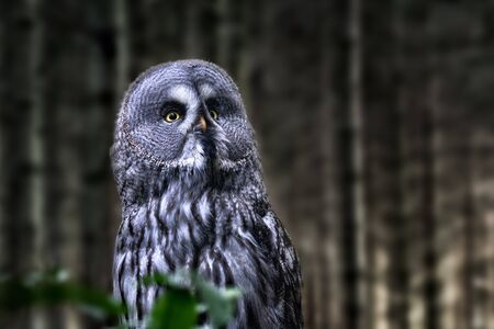 Image of a sitting great gray owl with forest in background Stockfoto